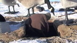 getlinkyoutube.com-Stillwater's Urban Assault:  The Assault Continues.....Goose Hunting Front Range of Colorado