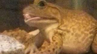 getlinkyoutube.com-Bullfrog eating mouse