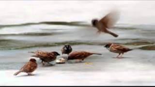 getlinkyoutube.com-tiếng chim sẻ mồi