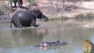 getlinkyoutube.com-Elephant Teaching Hippo A lesson - Swimming Lesson