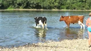 getlinkyoutube.com-Swimming With Cows -  Inna