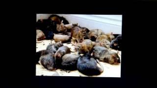 "getlinkyoutube.com-""Крысы"" в %"