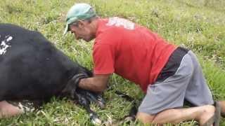 getlinkyoutube.com-EMOCIONANTE!    Vaca em sofrimento no parto recebe ajuda de peão.