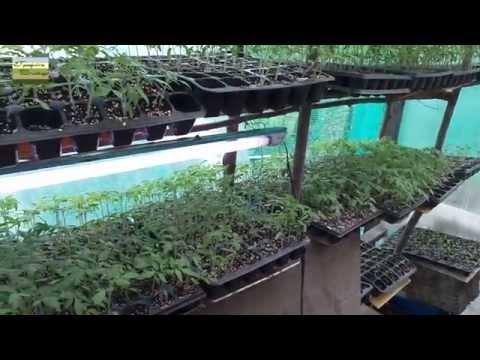 Разсад зеленчуци домати краставици пипер оранжерия Градина Вискяр