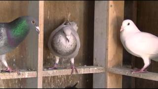 getlinkyoutube.com-Capital Pigeon Racing DVD Preview