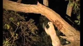 SUBHANALLAH...penyesalan seekor macan setelah memangsa induk kera.FLV