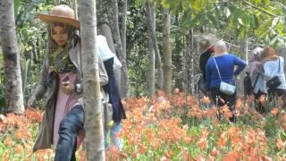 getlinkyoutube.com-Taman Bunga Amarillys Patuk Gunung Kidul Yogyakarta