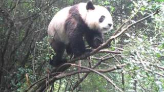 getlinkyoutube.com-Panda falling out of tree