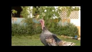 تربيه الدجاج الرومي من البيضه حتى البلوغ Turkey