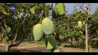 getlinkyoutube.com-เกษตรทำเงิน : มะม่วงแก้วขมิ้น ผลดก ปลูกง่าย ตลาดอาเซียนนิยม