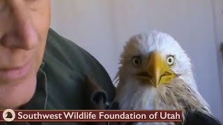 getlinkyoutube.com-Feeding critically ill Bald Eagle March 26 2013