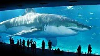 getlinkyoutube.com-REAL MEGALODON SHARK PROOF/EVIDENCE 2015 (WORLDS BIGGEST/LARGEST SHARK)