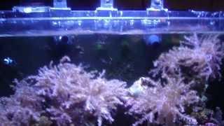 getlinkyoutube.com-Innovative Marine NUVO 16 gallon Reef