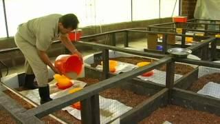 getlinkyoutube.com-Recomendaciones Solla de manejo para la primera semana del pollo de engorde