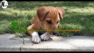 Indian Pariah  Dog facts | Hindi | indian desi dog breed