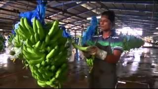 getlinkyoutube.com-การผลิตกล้วยหอมทองกล้วยน้ำว้าแบบอินเตอร์เนชั่นแนล