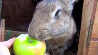 Big Flemish Giant Bunny Rabbit Eating Apple