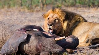 "getlinkyoutube.com-► ""TRAINED TO KILL"" - (Lions Documentary) (LIONS vs ELEPHANT - GIRAFFE AND MORE! -  WILD   HD"