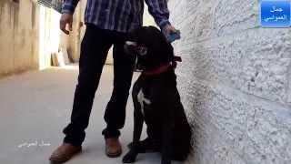 getlinkyoutube.com-كلاب الكانى كورسو الايطالي مع جمال العمواسي
