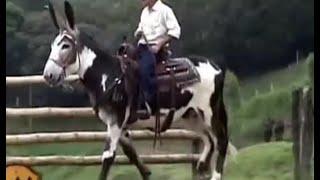 getlinkyoutube.com-Burro Mamut, Burro Gigante (Criador German Velez Ochoa) - TvAgro por Juan Gonzalo Angel