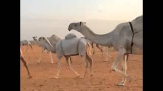 getlinkyoutube.com-منقية الشيخ مبخوت هذال المساعره / الطايلات