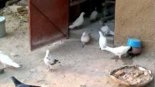 getlinkyoutube.com-punjabi pigeon chandigarh part . 2