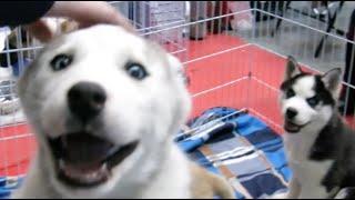 getlinkyoutube.com-Лучшие щенки хаски, акита-ину, алабаи, шпицы и д.р. на выставке собак (Puppies show)
