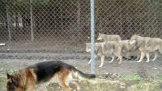 getlinkyoutube.com-Wolves and dog