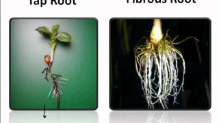 getlinkyoutube.com-Science - Root System And Its Functions - English