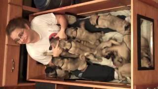 getlinkyoutube.com-16 Pug Puppies!