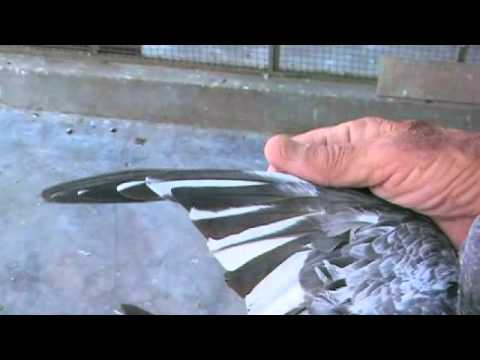 pakistani  pigeons  from ch... bota  sahib lahore