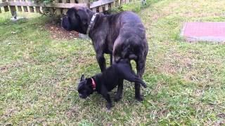 getlinkyoutube.com-cane corso monta a perrita bulldog frances