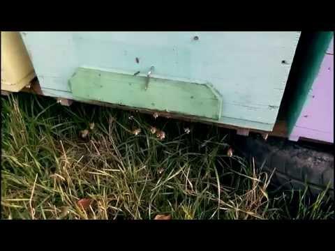 Cules de polen in septembrie