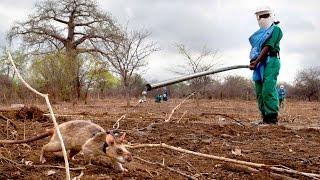 getlinkyoutube.com-Super Hero Rats trained To Detect Deadly Landmines