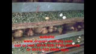 getlinkyoutube.com-DRQUAIL  MOVIE GUIDE TO QUAIL RAISING  march 18 2010 part 1