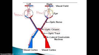 getlinkyoutube.com-Visual Nerve Pathways