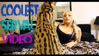 getlinkyoutube.com-Coolest Serval Video!