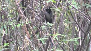 getlinkyoutube.com-นกกาแวน(Racket-tailed Treepie) แต่งตัว