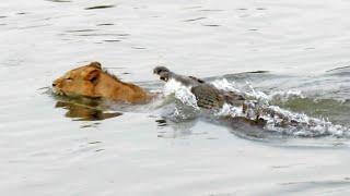 getlinkyoutube.com-Crocodile Attacks a Male Lion - Latest Wildlife Sightings