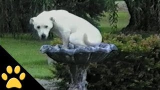 Labradors Are Awesome: Compilation