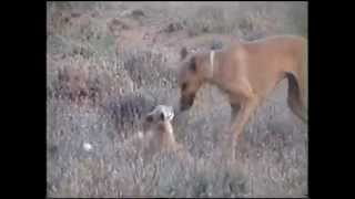 getlinkyoutube.com-تدريب جرو سلوقي على صيد الثعلب