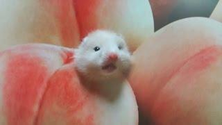 getlinkyoutube.com-[햄스터]53탄.The hamster coming of a peach 복숭아에서 나온 골든햄스터