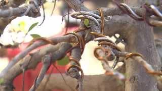 Cultivo del Bonsai en República Dominicana