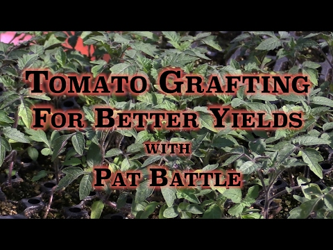 Tomato Grafting For Better Yields with Pat Battle