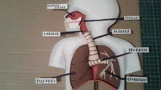getlinkyoutube.com-Como Hacer Maqueta Aparato Respiratorio 1