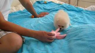 getlinkyoutube.com-Cute Female Cream Pomeranian Puppy Playing 8 Weeks