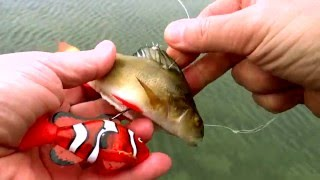getlinkyoutube.com-Pike vs robot RC ROBO FISH Nemo clown & dead bait. Underwater attack. Rare & weird ways of fishing.