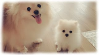 getlinkyoutube.com-Our tiny white micro / teacup pomeranian puppy
