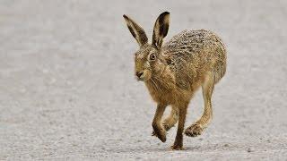 getlinkyoutube.com-Охота на зайца. Стрельба по зайцу. Самые яркие моменты. Сезон 2014-2015. Ходовая охота. ТОЗ - 34