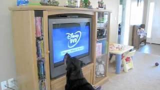 getlinkyoutube.com-Dog hates Disney DVD's